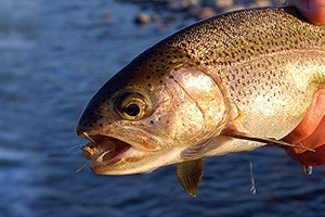 Biking & Fishing Rentals from Grizzly Outfitters : Awesome selections of KONA bikes & trailers and SAGE fishing gear for trout fishing on the Gallatin River. Licenses, trail maps, and more in our 2 shops in Big Sky.