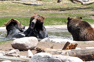 Grizzly and Wolf Discovery Center :: Video & photograph live bears & wolves at this not-for-profit wildlife park & educational facility. Get a fascinating view into their worlds. Animals visible year-round.