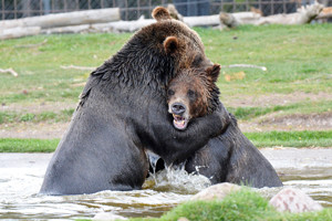 Grizzly and Wolf Discovery Center