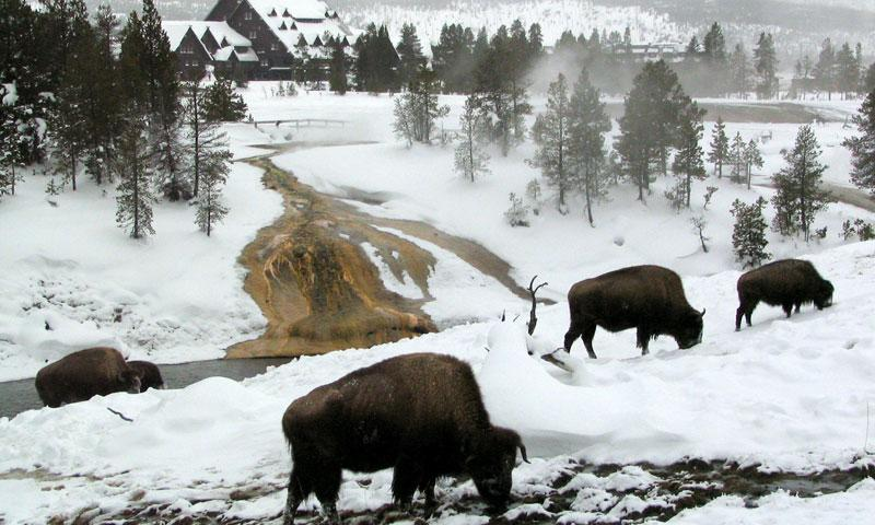 Yellowstone Wildlife Tour